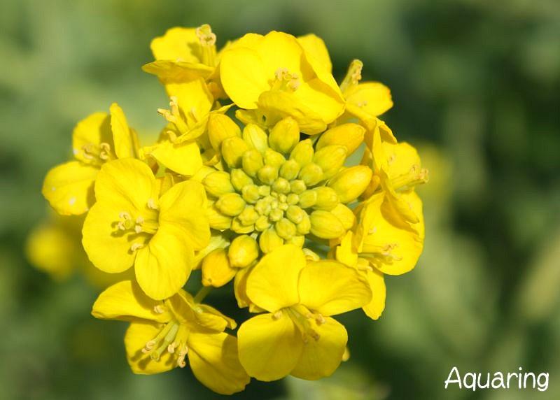 菜の花(ナノハナ)