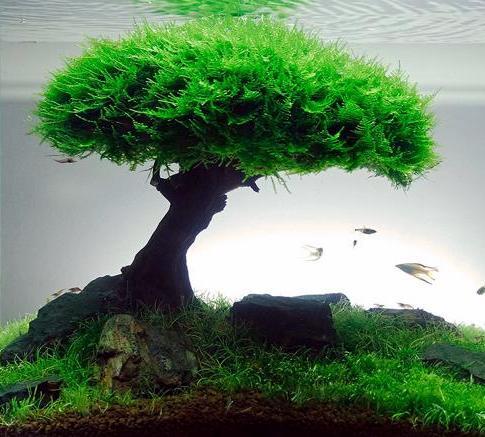 plant_javamoss