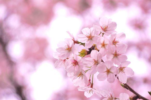 桜 深い感慨