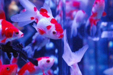 金魚とはどんな魚?寿命はどのくらい?