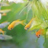 メダカの飼い方 飼育方法、繁殖、品種の紹介まで日本メダカのすべて