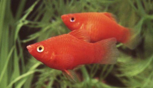 卵胎生メダカ 卵じゃなくて子供をそのまま産む魚たち
