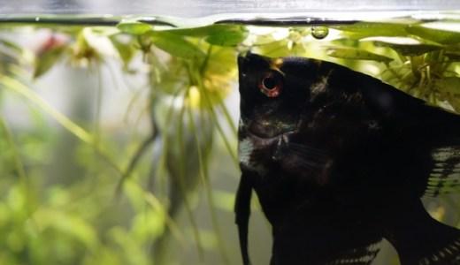 熱帯魚水槽に浮き草を入れるメリット・デメリット!飼育に役立てよう!