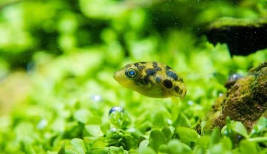 小さなかわいい淡水フグ。アベニー・パファーを飼ってみよう!