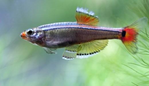 【飼育しやすい魚の代表】アカヒレの飼い方を解説します!餌・水温・混泳相手について