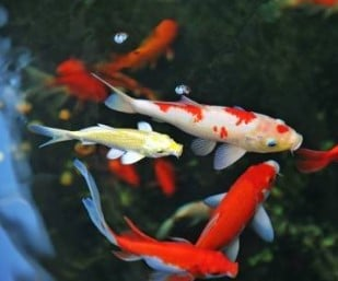 top 10 best koi