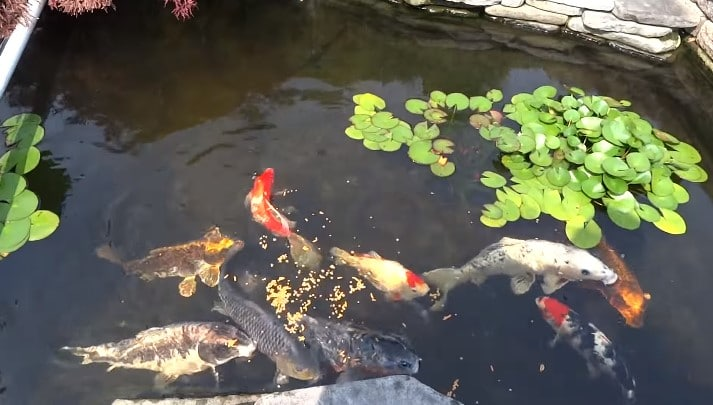 what to feed koi