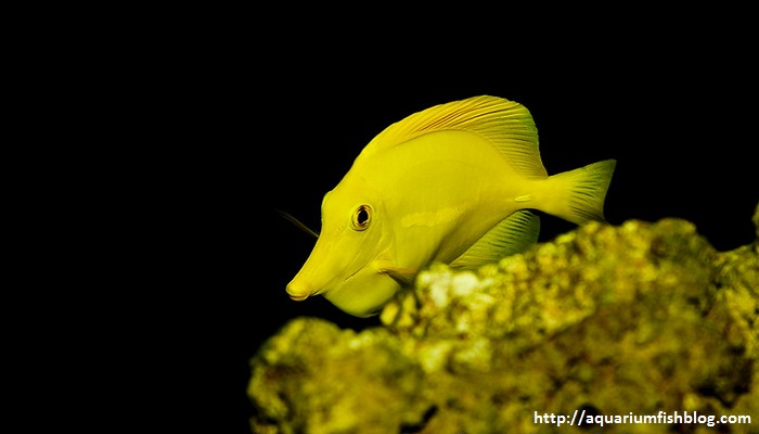 Yellow Tang - My Experiences