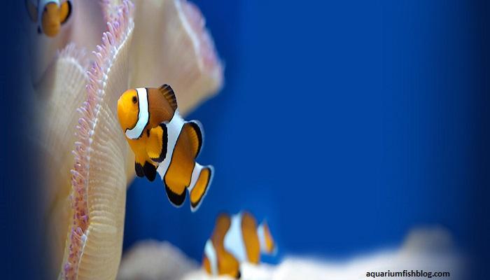 Marine fish: Marine Clownfish care and breeding method