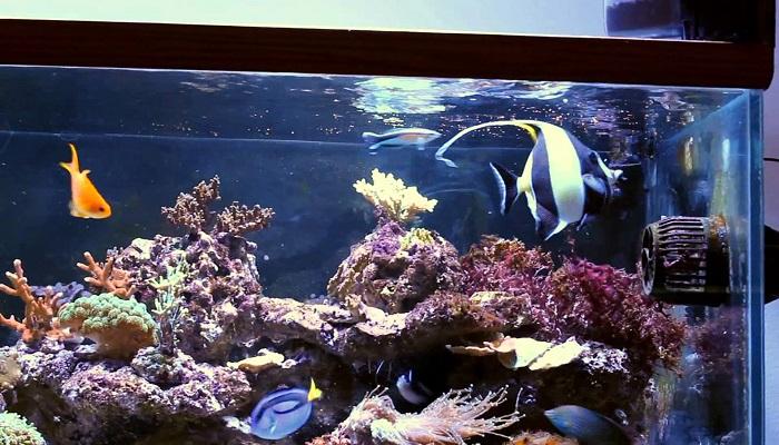 Moorish Idol Fish Care- Moorish Idol Marine Fish Facts