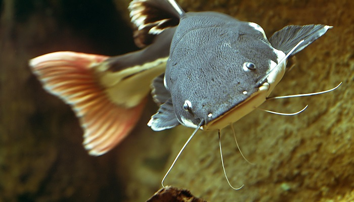 Red Tail Catfish Care: How to care red tail catfish in your home aquarium