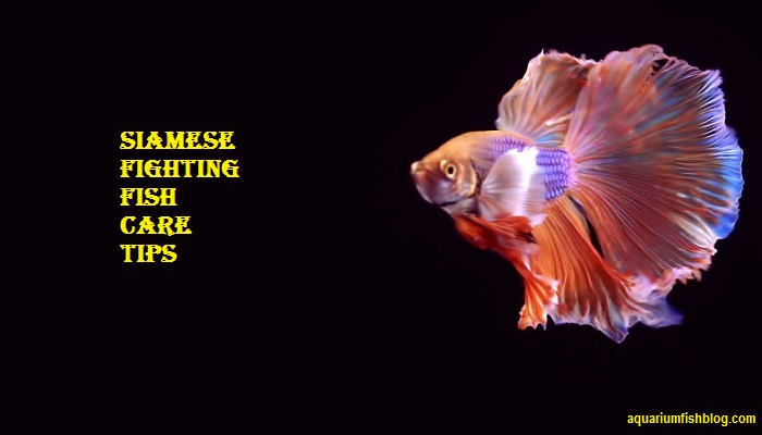 Siamese fighting fish care-Taking Care of a Fighter Fish