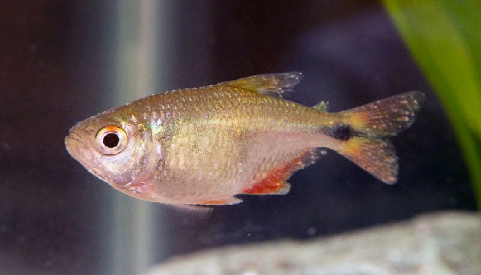 White spot disease-Symptoms of the white spot disease in aquarium fish