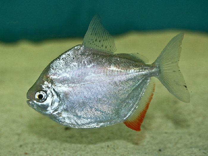 Silver Dollar fish care-How to care silver dollar fish