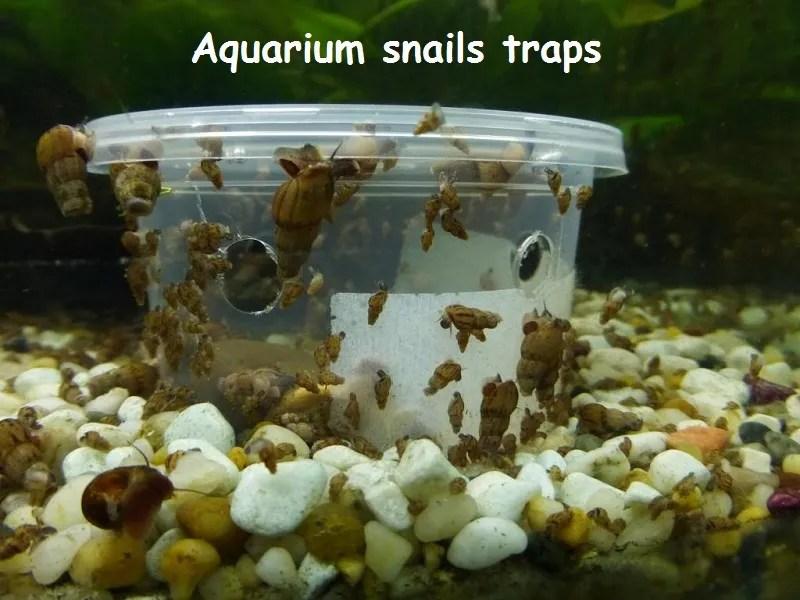 aquarium snails