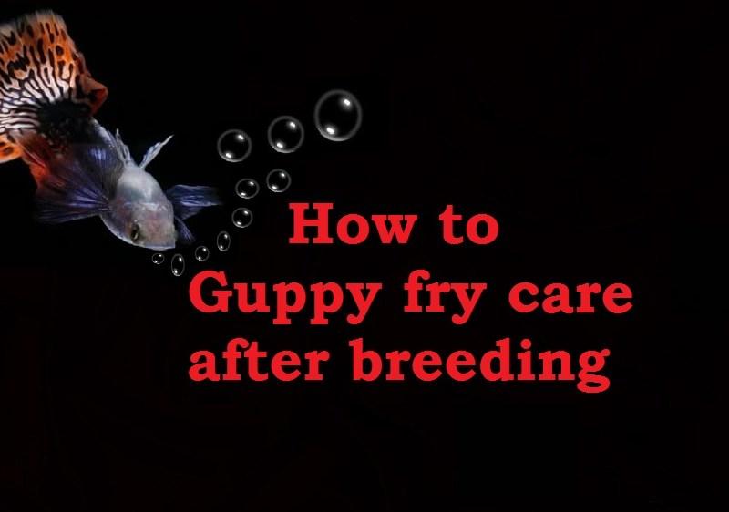 guppy fry