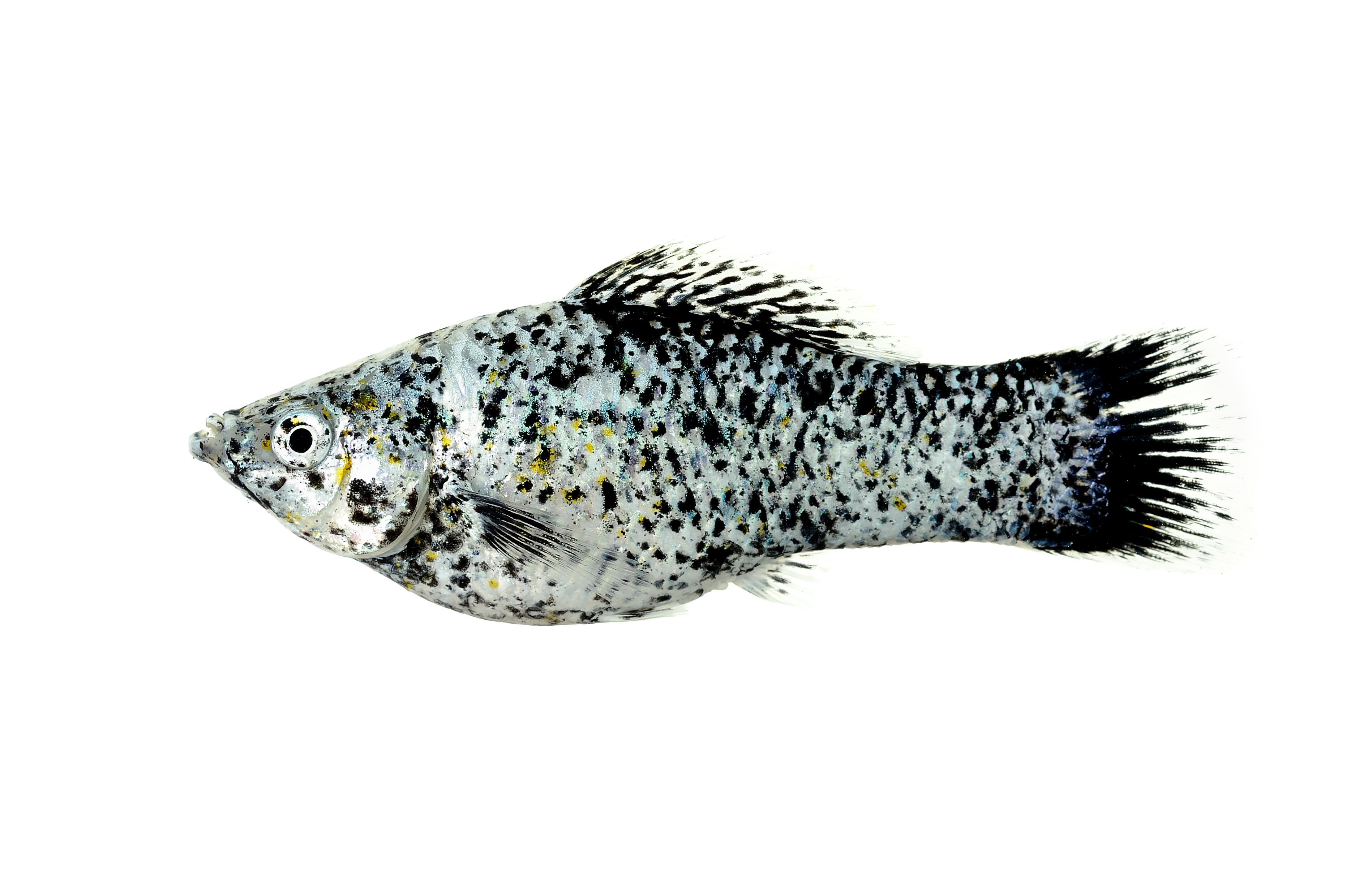 Plenty of adult fish