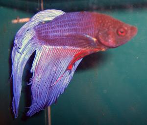 Fish Tropical 64