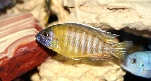 Pet Tropical Aquarium Fish