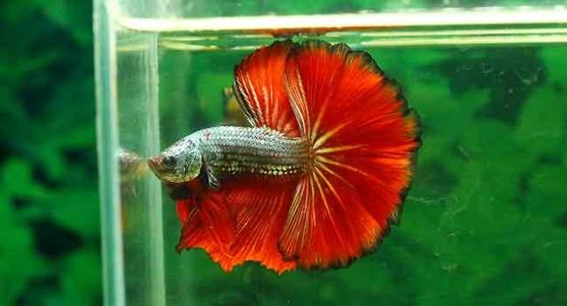 How to betta fish