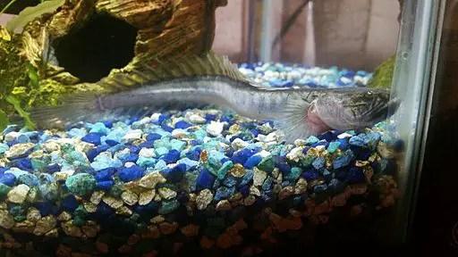 Dragon Fish Care In Freshwater Aquariums Aquarium Tricks