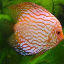 Caring for Discus Fish On Freshwater Aquariums