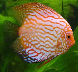 Brightly coloured red Discus fish