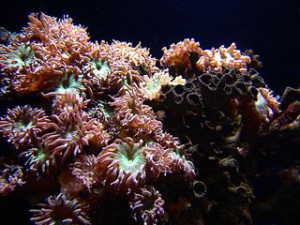 Coral on a reef marine aquarium