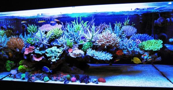 Reef tank with corals and invertebrates of various types