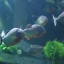 Keeping Piranhas In An Aquarium? It's Not So Difficult