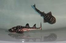 Newport Aquarium Sweet Pea Documented Shark