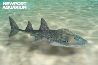 "Adult shark ray's dorsal ""thorn ridge."""