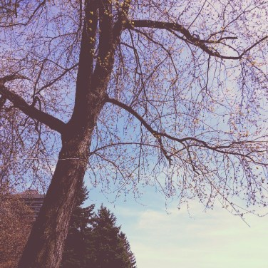 A photo I took of a tree just beginning to bud in the Yonge and St. Clair area in Toronto.