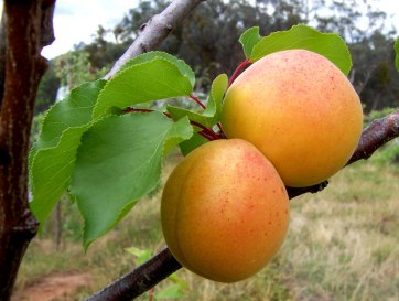 Apricots peak from May to August and are a guaranteed hit at any farmers' market. Photo by: Creative Commons.
