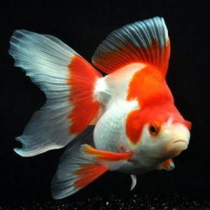 RYUKIN GOLD FISH