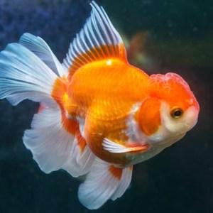 oranda gold fish