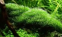 "Fast Growing Carpet Plants Aquarium ""Riccia Fluitans or ..."