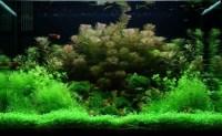 Fast Growing Aquarium Carpet Plants Glossostigma ...
