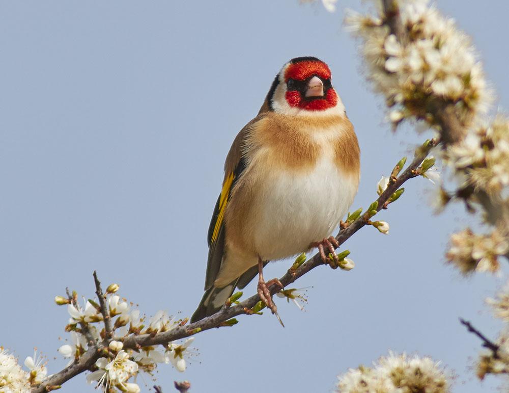 Goldfinch in Spring print