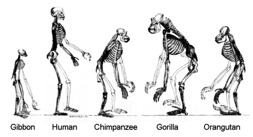 Orthograde skeletons of extant apes and humans