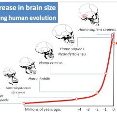 Diagram Of Evolution Timeline 2003 Buick Century Wiring The Human Brain