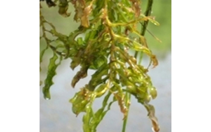 When to Treat Curlyleaf Pondweed