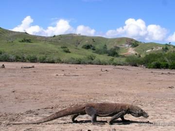 Komodský drak na ostrově Rinca NP Komodo. Exotická dovolená levně
