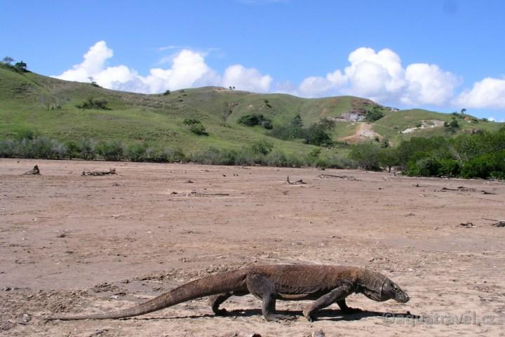 Komodský drak na ostrovì Rinca NP Komodo. Exotická dovolená levnì