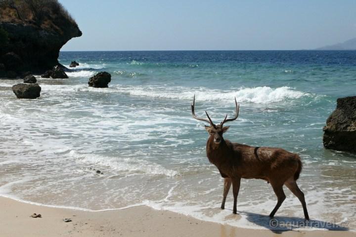 Jelen na pláži ostrova Menjangan