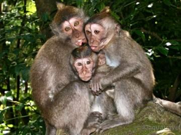 Monkey forest Ubud. Opičky makakové