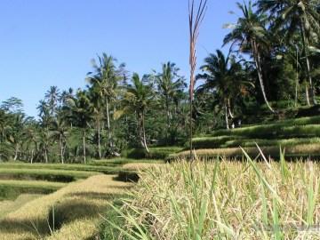 Gunung Kawi terasy rýžových polí ostrov Bali