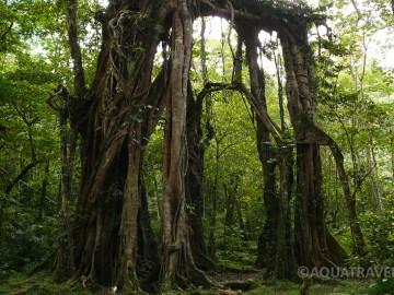 Pralesní velikán fíkovník drobnolistý (Ficus benjamina) v botanické zahradě v Bedugulu na Bali