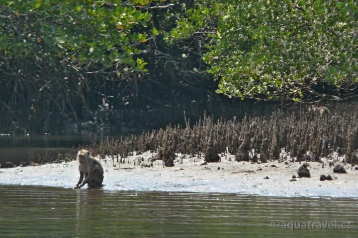 Rinca mangrovy a makak jávský