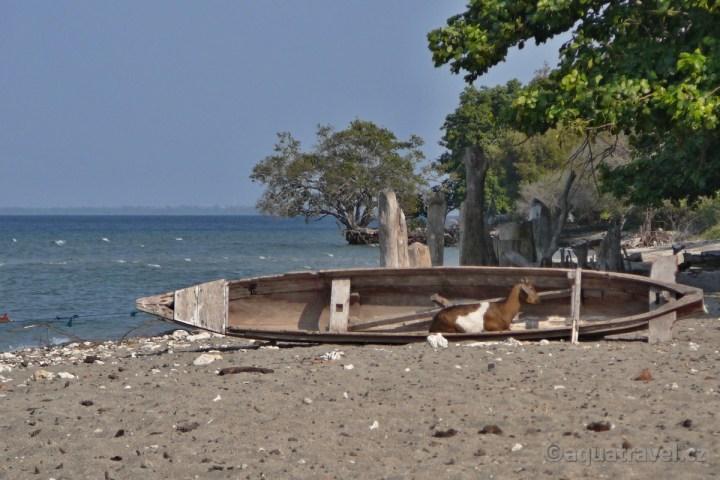 Plᾞ s kozou na ostrově Moyo